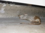 According to Hayward Gallery staff, this partially-hidden rat is part of the exhibition